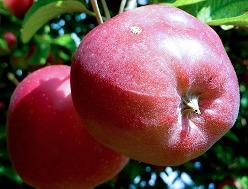 Яблоня Глостер (описание)